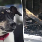 Hero Dog Zippy Dies Saving Entire Family From House Fire