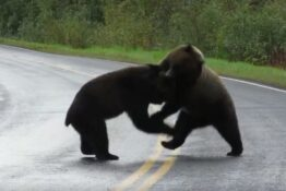 Rare bear fight caught on camera