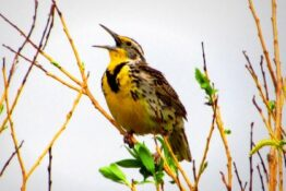 Meadowlark bird
