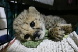 Cheetahs being sold to rich people as pets