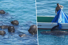 Dolphins Swim Close Together 'For Comfort' Before Being Killed In Japan