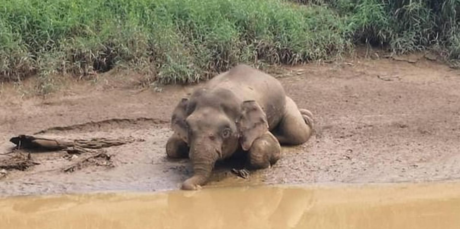 Pygmy Elephant Found Riddled With 70 Bullet Holes After Poachers Killed It For Tusks