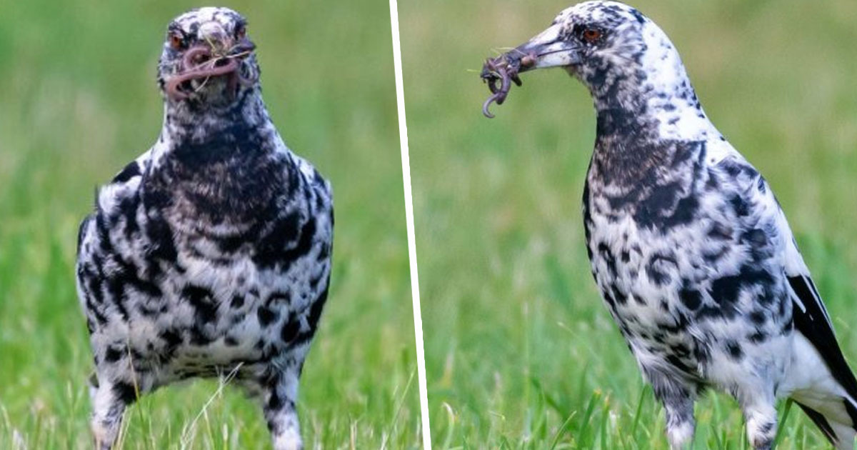 Rare Dalmatian Magpie Spotted And Photographed At Side Of Road