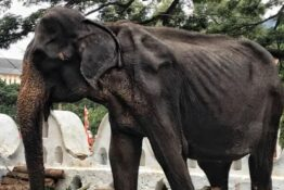 Tikiri the elephant has died after being mistreated