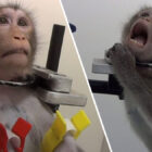 German Lab Where Monkeys Filmed Screaming In Pain During Tests Raided