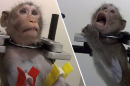 German Lab Monkey Abuse