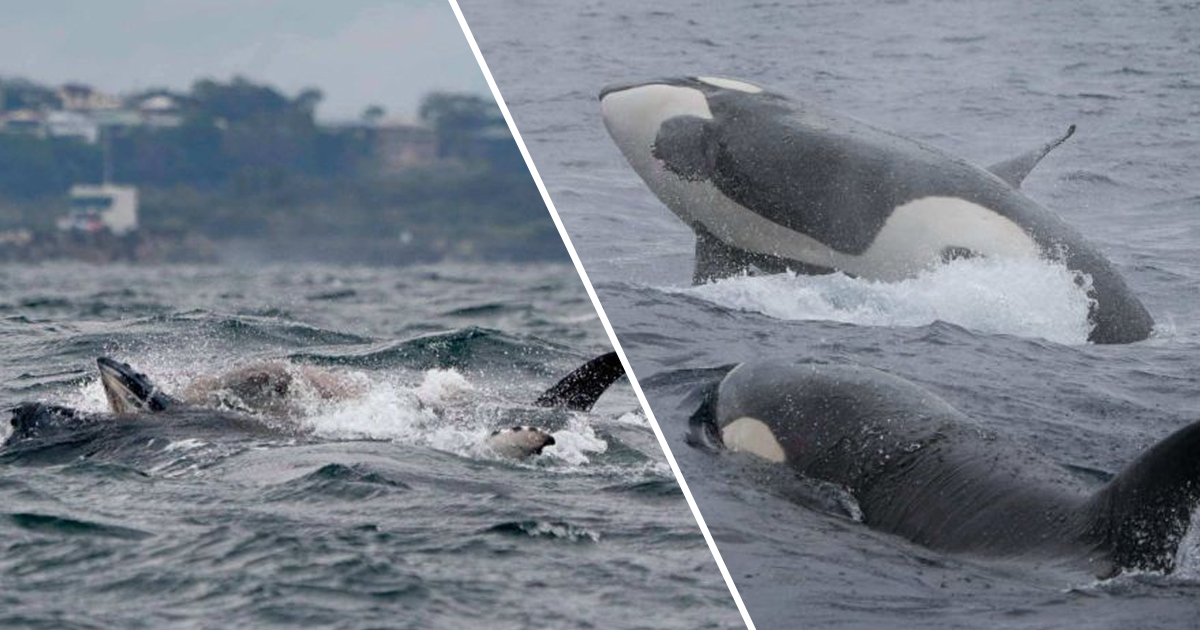 Whale Watchers Film Pack Of Orcas Killing And Devouring Humpback Calf