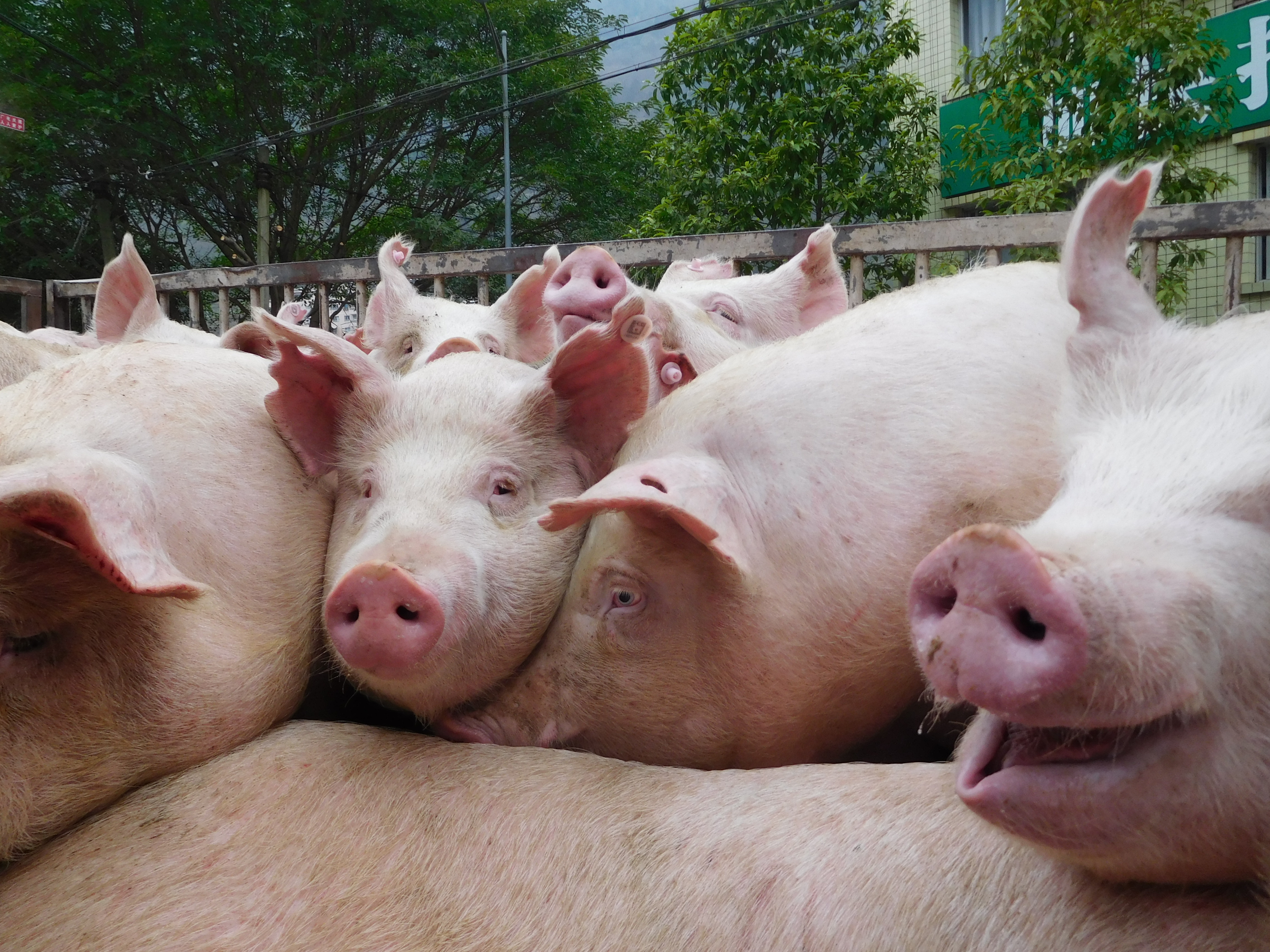 pigs with african swine fever