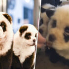 Animal Rights Groups Outraged By Dog Owners Dyeing Pets To Look Like Pandas