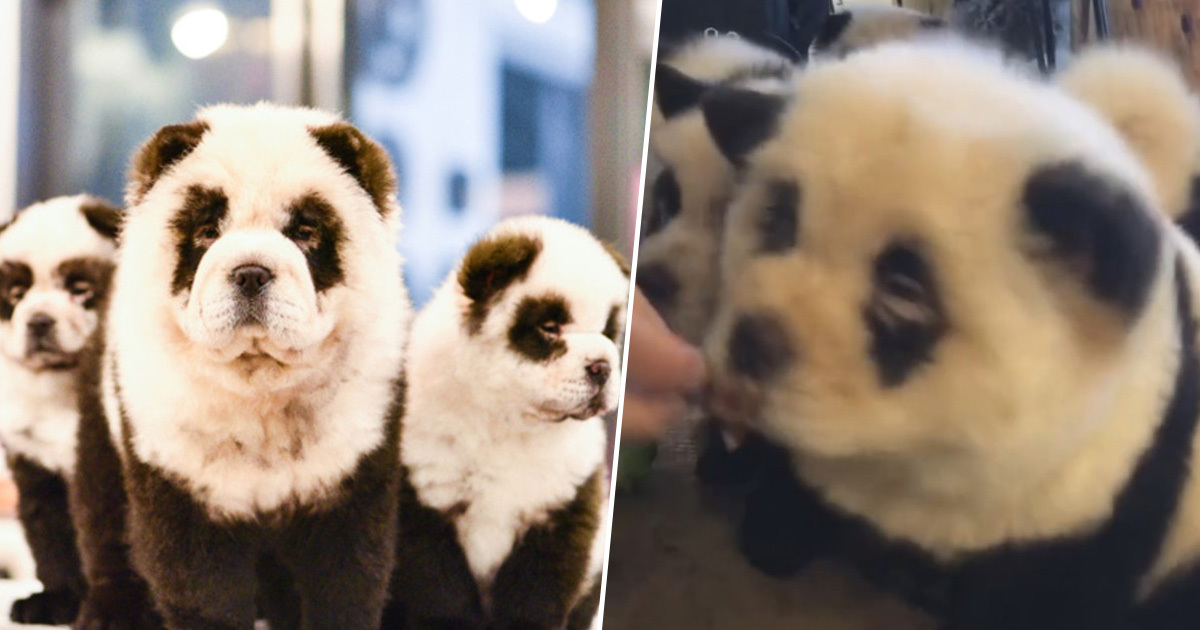 Panda Dogs AsiaWire Thumb