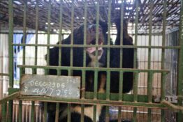 bear trapped in cage