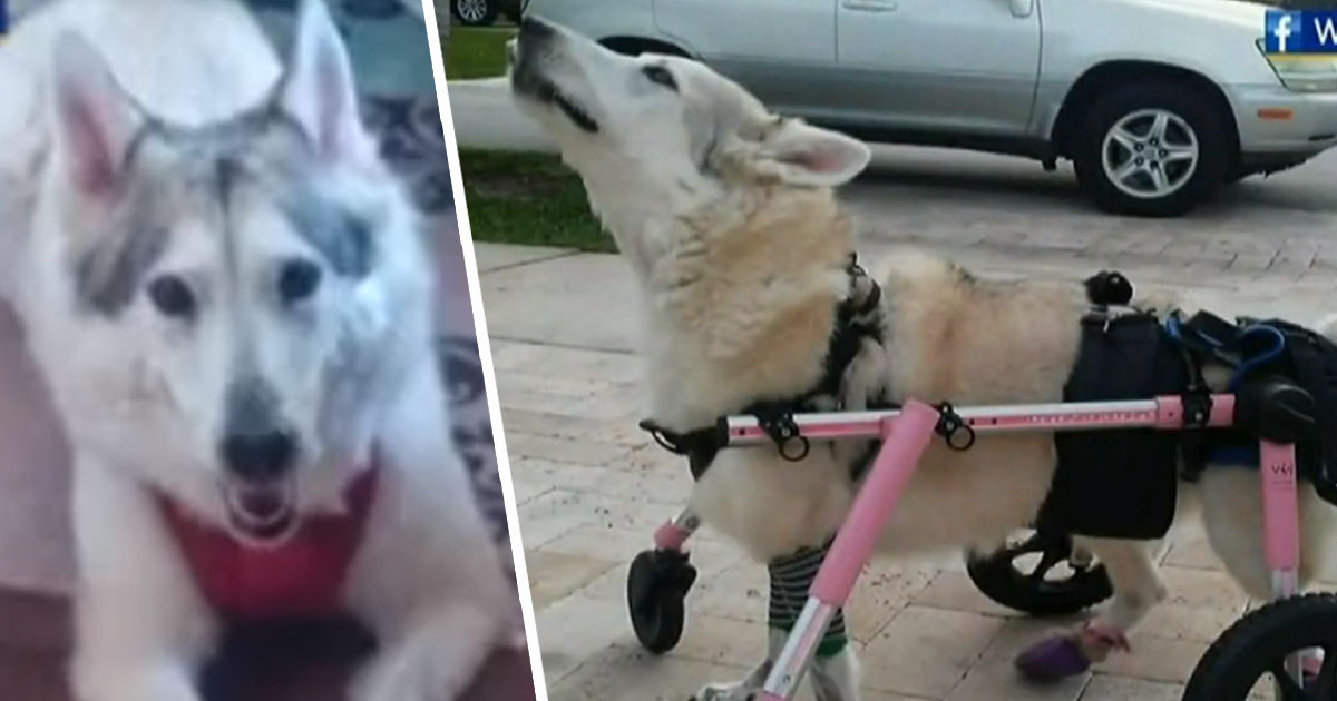 Disabled Dog Found Dead After Going Missing When Car Was Stolen
