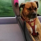 No Owners Come Forward To Claim Heartbroken Dog Who Boarded Bus Alone