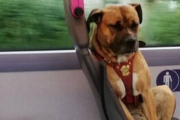 Heartbroken Dog Who Boarded Bus Alone Has No Owners Come Forward To Claim Her