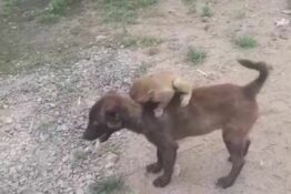 dog carries baby monkey on back