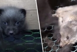 Horrifying Footage Reveals Extent Of Animal Cruelty In Fur Farms
