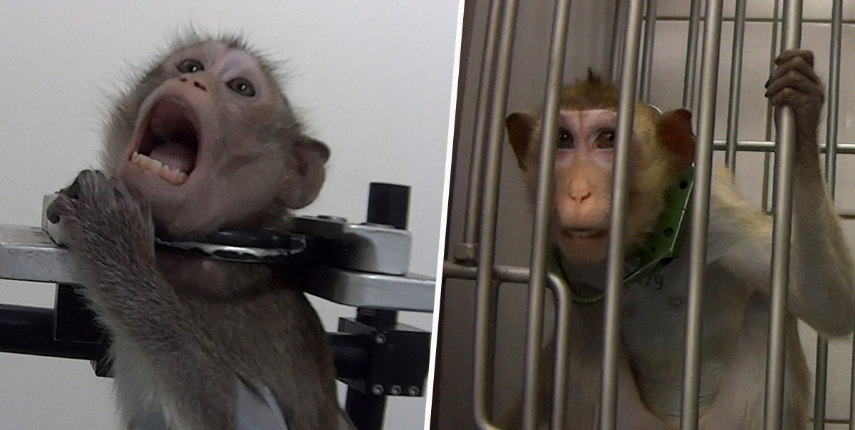 Lab where monkeys were found screaming accused of hiding animals from investigators