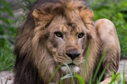 Woman climbs into zoo enclosure and taunts lion
