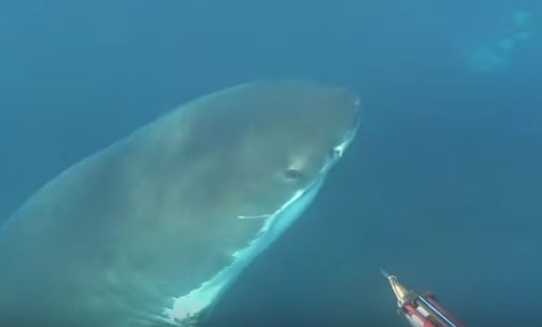Diver fends off great white shark