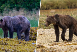 Grizzly Bears Are Starving In Canada As Salmon Population Decreases Due To Climate Change