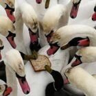 Ducks And Swans Are Dying Because No One Feeds Them Bread Anymore