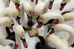 Ducks And Swans Are Dying Because No One Feeds Them Anymore