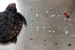 Turtle found with 104 pieces of plastic in intestines