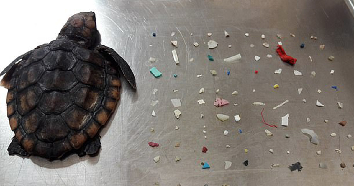 Tiny Turtle Found Dead With 104 Plastic Pieces In Its Intestines