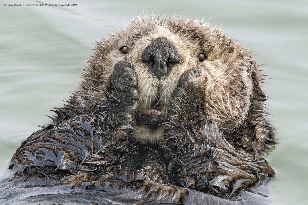 Otter looking shocked for wildlife photography awards 2019
