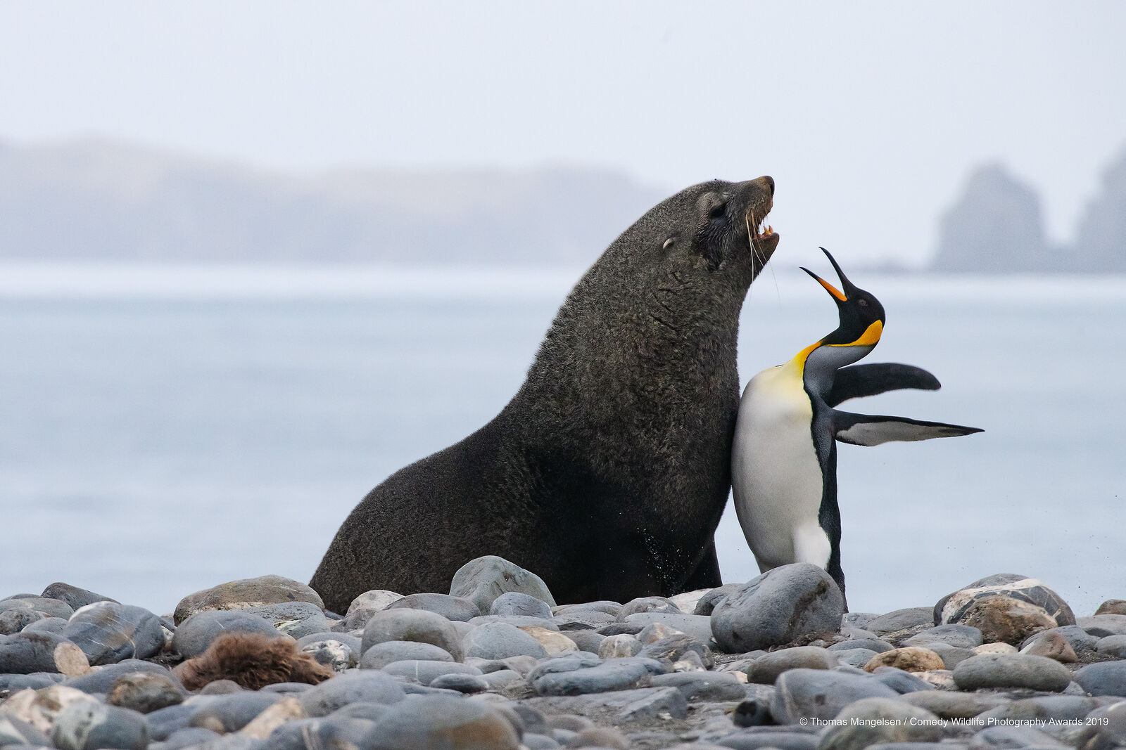Penguin chest bumping sea lion for wildlife comedy awards