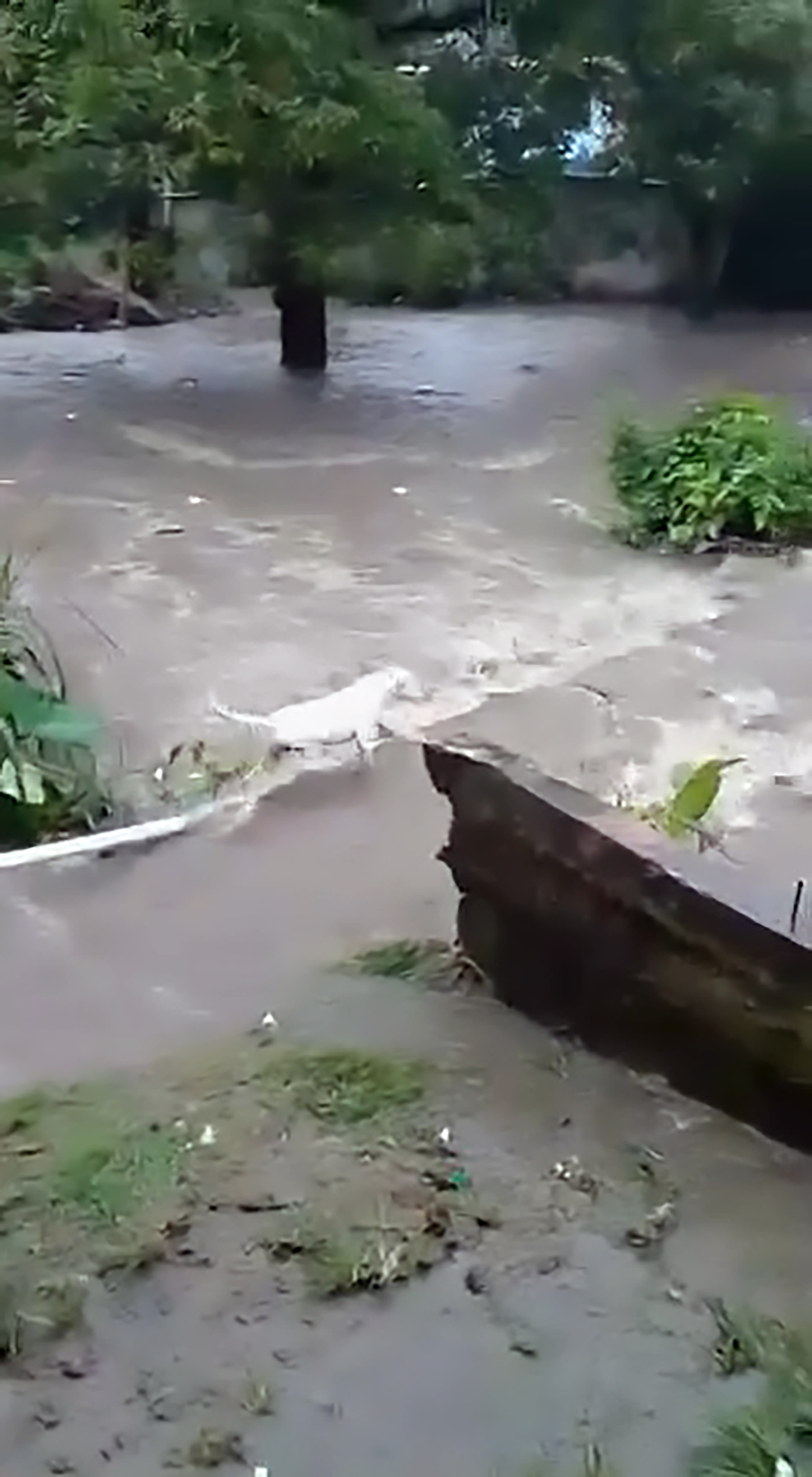 Dog struggling to cross river before getting swept away