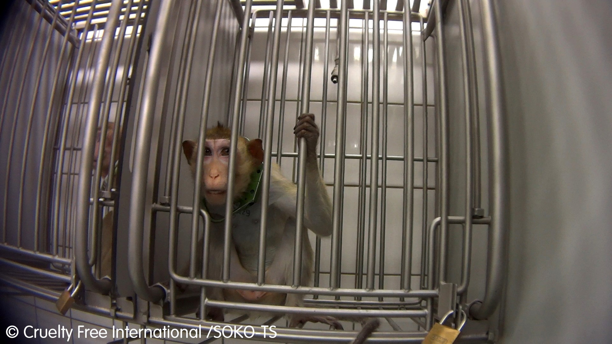 Monkeys in pain at german lab