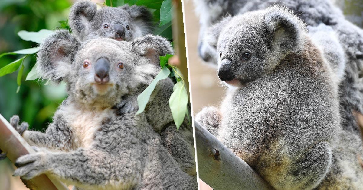 Koalas Natural Habitat Destroyed By 80% After Australian Bushfires