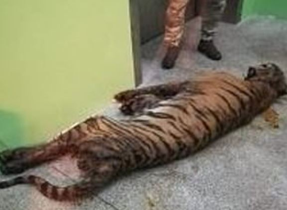Starving Tigers