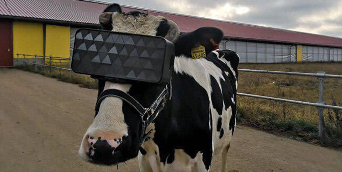 Cows given VR headsets to improve mood