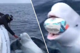 beluga playing catch could be russian spy 1