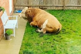 Couple wake up to find bull in their back garden