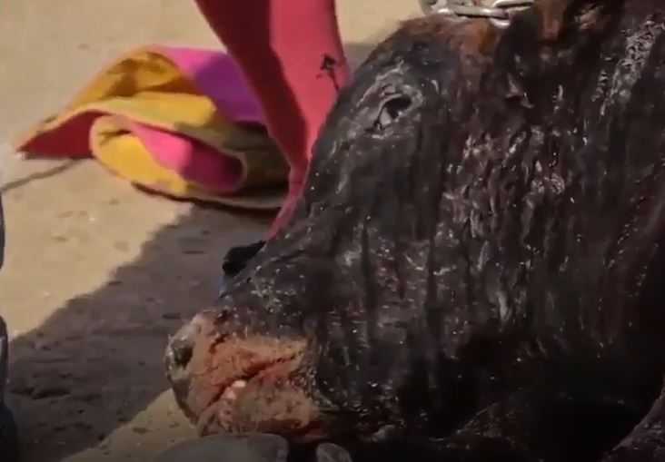 PETA share video of bull being stabbed in head