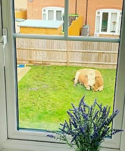 Couple wake up to find bull in their home