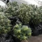 Forest Of Cannabis Trees Found Stuffed In Back Of Van To Escape Floods