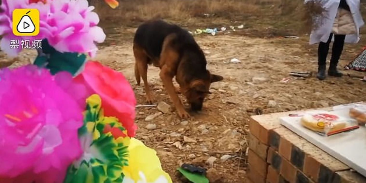 dog digs owners grave after he dies