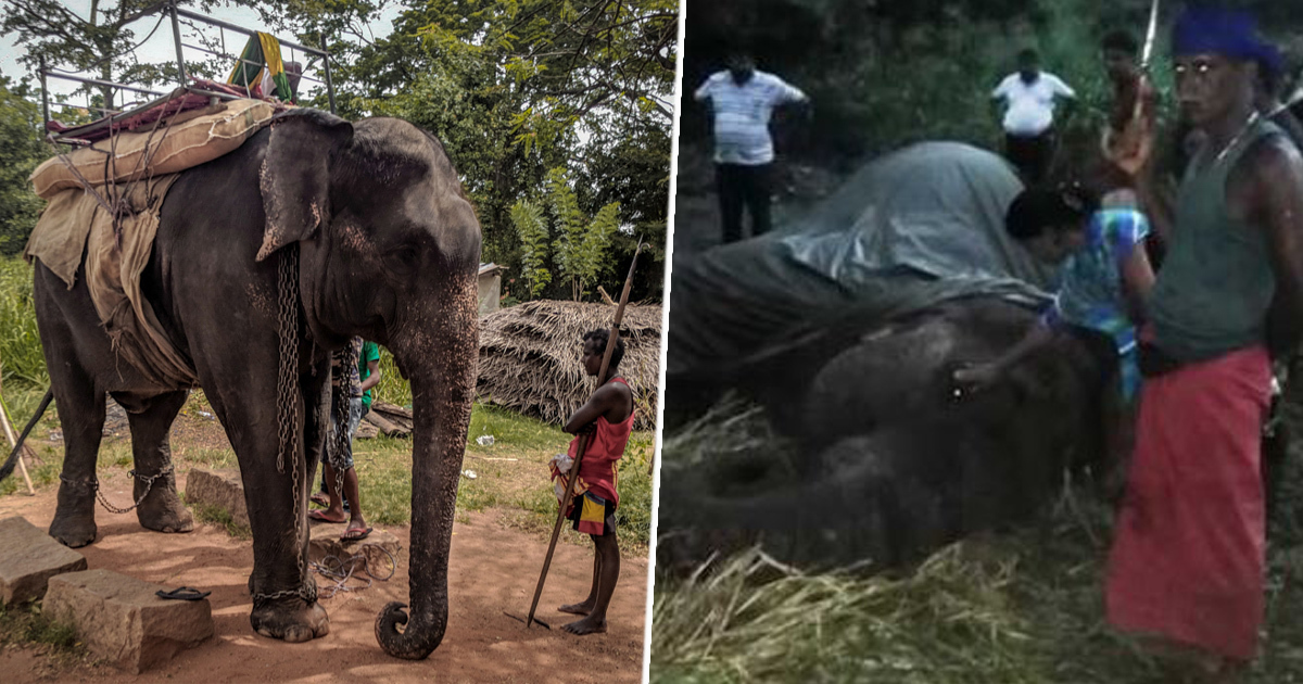 elephant collapses and dies in sri lanka