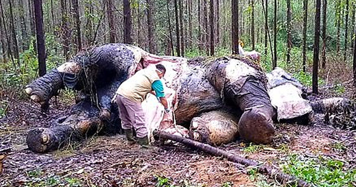 Second Critically Endangered Sumatran Elephant Found Dead From 'Poisoning'