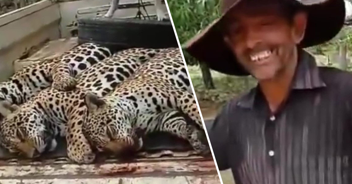 Extremely Rare Jaguar And Her Two Cubs Slaughtered By Suspected Hunter