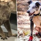 Hero Dog Braves Australian Bushfires To Save Koalas