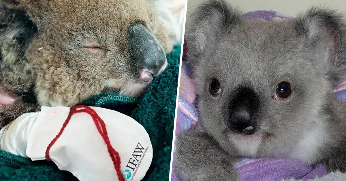 People Are Making Koala Mittens For Animals Whose Paws Got Burnt In Bushfire