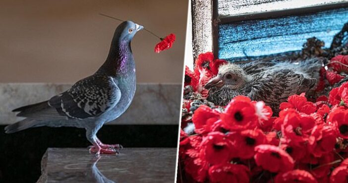 Pigeon Who Used Poppies To Make Nest Welcomes Baby At War Memorial