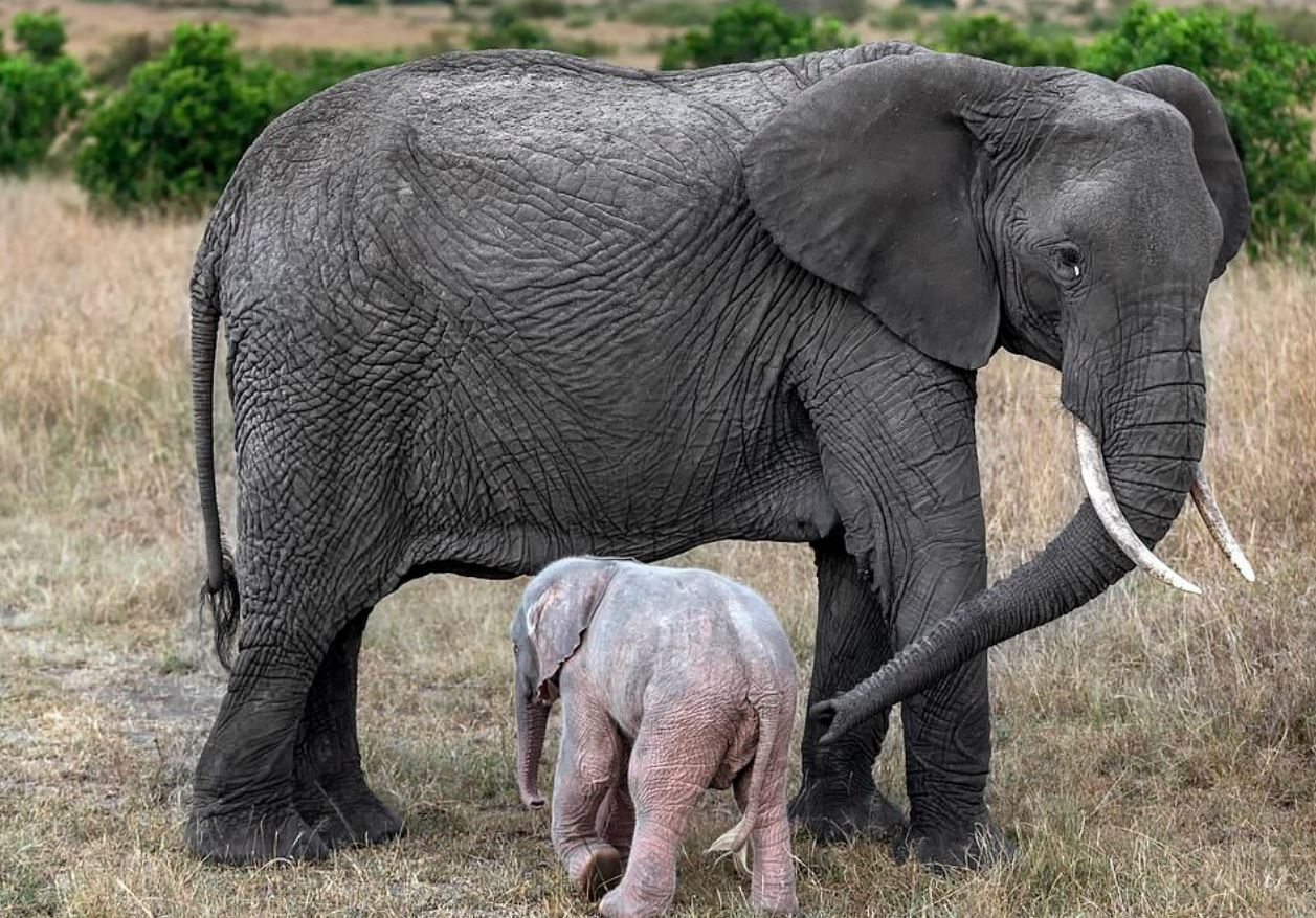 Rare Pink Elephant Calf Thriving In South Africa Against All Odds