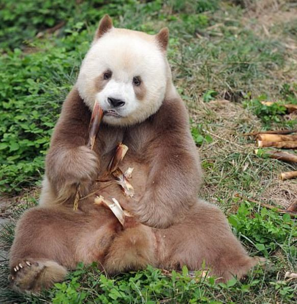 The world's only captive brown panda adopted