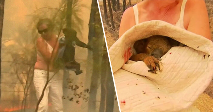 Woman Saves Scorched And Screaming Koala With Shirt Off Her Own Back